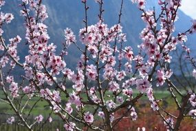 Spring cherry tree in nature