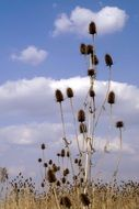 dry thistle plant with seeds on the field