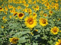 sunflower field on the agricultural field