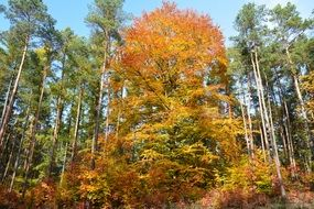 yellow deciduous Trees at green pine forest, Autumn landscape