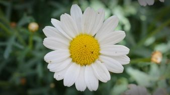 white daisy with a round yellow core