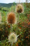 thistle like meadow weed