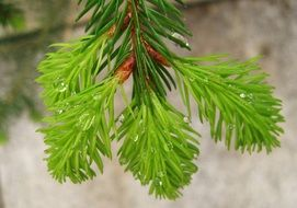 raindrops on a sprout of fir