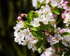 white and pink flowers on apple tree in spring