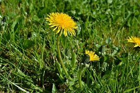 yellow dandelion among green grass in a meadow