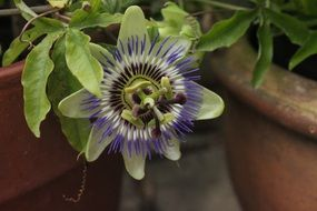 Beautiful passion flowers blossom