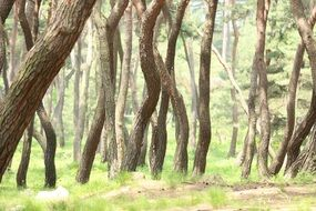 pine grove at summer, curved tree trunks