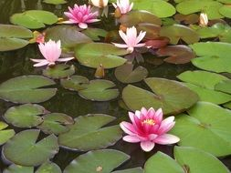 purple Water Lily Aquatic Plant in Pond