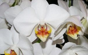 decorative white orchid