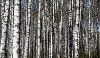 birch grove or birch forest