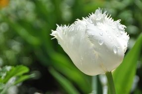 white tulip with torn petals close-up