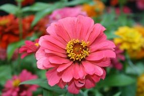 red zinnia flower close up
