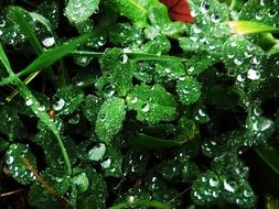 dew drops on Clover leaves, Macro
