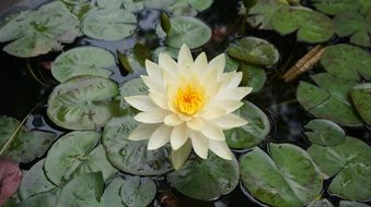 aquatic plants lotus flowers