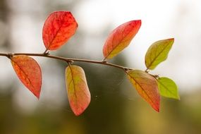Colorful Autumn Foliage on twig