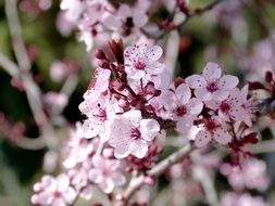 pink plum flowers in a country garden