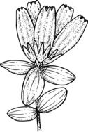 black-white graphic representation of a wild flower in detail