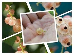 photo collage of currant berries