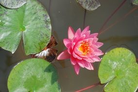 Pink Water Lily Flower Pond