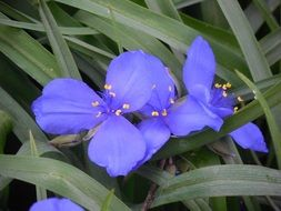 perfect beauty Spiderwort Flower