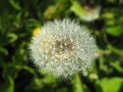 faded dandelion flower