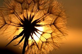 bright sun in the seeds of a dandelion
