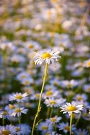 Daisy Summer Flower