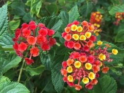 Indian Lantana Tropical Flowers