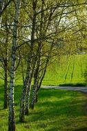 birch trees in summer