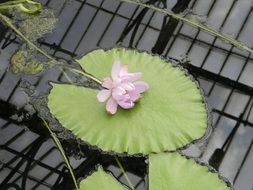 pale pink Waterlily Floating
