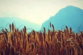 wheat field in the mountains under the bright sun