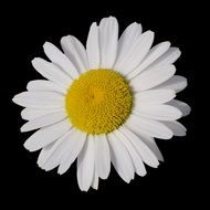 white daisy with a large yellow core on a black background