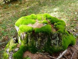 Green moss on a cutted tree