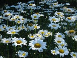 large blooming daisies on the field