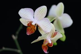 White Orchid Flower bloom