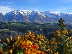 blooming Gorse in view of snow-capped mountains, New Zealand