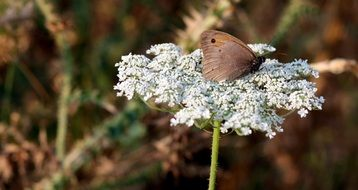 Brown Butterfly on white Flower