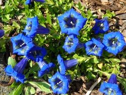 blue gentian flowers in the flowerbed