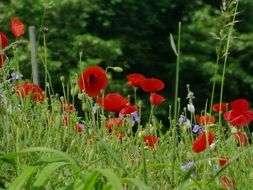 red poppies and blue flowers in a summer meadow