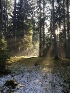 sunbeams in spruce Forest