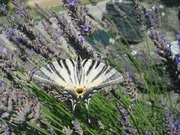 black-white butterfly among blooming lavender