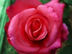 fascinating Plant Red Rose