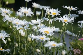 white daisies in a green summer meadow