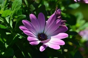 purple white marguerite flower