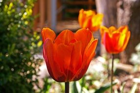 tulips in the garden on a sunny day