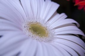 white gerbera bud close-up