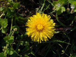 yellow dandelion in tall green grass in the sunlight