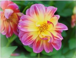 two-color garden dahlia close-up