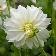 white dahlias with buds on a bush close-up