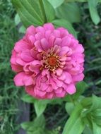 delightful beauty Zinnia